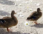 Two ducks on the beach at Lake Osoyoos.